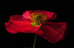Icelandic Poppy Closeup (Bill Gracey) Tags: lighting flowers light red flower macro green fleur colors photography shadows flash flor shapes salmon textures softbox icelandicpoppy cls studiolighting macrolens macrophotography mohn homestudio strobes amapolas coquelicots directionallight creativelightingsystem pavots nikoncls tabletopphotography