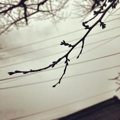 まだ小さく固いけど、桜の蕾に会いました。春の日は遠ひ