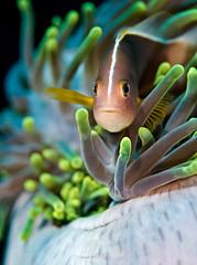 skanemfish9193 (gerb) Tags: fish topv111 1025fav 510fav nice eyes topv555 topv333 underwater dof lovely1 scuba fv5 pi anemone tentacle fins anemonefish tvp similanislands aquatica 105mmf28micro d7000
