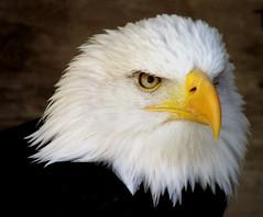 """A Portrait Of Wotan"" (Galeyo) Tags: 2 love nature birds all wildlife level eagles natures birdsofprey featheryfriday i allofnatureswildlifelevel1 allofnatureswildlifelevel2"