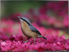 Eurasian Nuthatch 茶腹鳾斜眼瞪視,哼!! 你在亂亂拍!! (jjcat) Tags: birds canon taiwan 300mm 7d f28 eurasiannuthatch 茶腹鳲