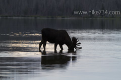 """Moose in Red Eagle Lake • <a style=""""font-size:0.8em;"""" href=""""http://www.flickr.com/photos/63501323@N07/6921352759/"""" target=""""_blank"""">View on Flickr</a>"""