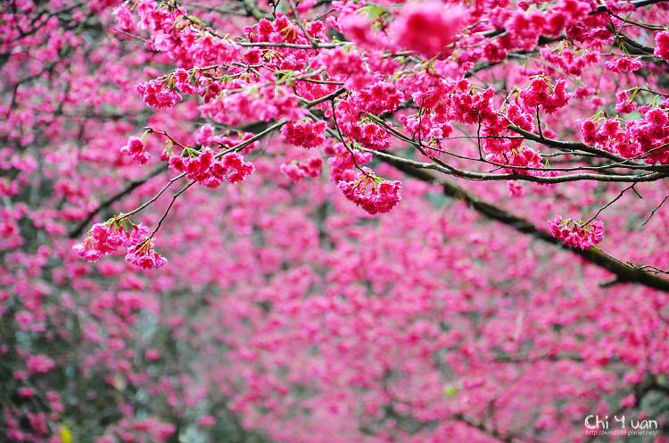 九族文化村櫻花祭-日05.jpg