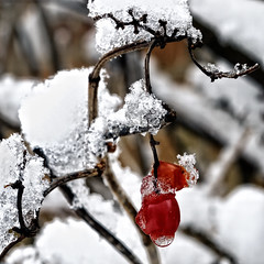 Berry Snowy (Wes Iversen) Tags: snow ice nature berries icy redberries odc ourdailychallenge clichsaturday