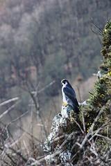 Peregrine Falcon, Kinnoull Hill (Ray Crabb) Tags: bird scotland perthshire perth falcon peregrine kinnoullhill canoneos450d tamron18270mm