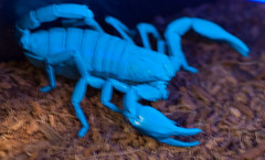 DSC_3820 LR.jpg (deanomac rocks) Tags: cambridge glow uv scorpion glowinthedark ultraviolet butterflyconservatory