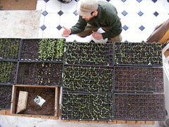 "jonah pricking out seedlings • <a style=""font-size:0.8em;"" href=""http://www.flickr.com/photos/75400798@N04/6933628133/"" target=""_blank"">View on Flickr</a>"