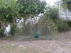 IMG_4072.jpg (j.s. clark) Tags: birds franklin florida peacock eastpoint apalachicola