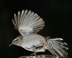 My startled buddy the Bewick's Wren --- Backyard in rain 029 (Pat Durkin OC) Tags: bird backyard remote wren sb800 bewickswren
