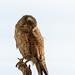 Falco tinnunculus (stuffed)