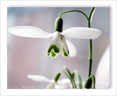 HAppy SUnday... ( Annieta  Off / On) Tags: winter flower nature netherlands fleur canon hiver nederland natuur powershot s2is wildflower fiore allrightsreserved blum 2012 bloem maart sneeuwklokje zuidholland galanthusnivalis krimpenerwaard annieta itsawonderfulworld abigfave wildebloem usingthisphotowithoutpermissionisillegal mygearandme mygearandmepremium mygearandmebronze mygearandmesilver mygearandmegold mygearandmeplatinum mygearandmediamond ringexcellence dblringexcellence tplringexcellence eltringexcellence sunrays5 elitehappyholidaymacros