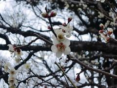mar12 104 (owseki) Tags: garden korakuen plumblossoms koishikawa mar12