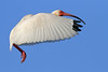 White Ibis (asparks306) Tags: peregrino27life 042811lafayette7d1384
