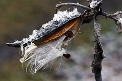 Milkweed and snow (rexp2) Tags: winter snow nature flickr bokeh seed seedpod nikkormicro105mmf28 emounttmountotherlensornolens fujinonelc8077closeuplens