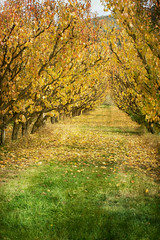 Apricot arch (borealnz) Tags: autumn trees newzealand painterly fall fruit orchard growth alexandra nz getty otago centralotago produce horticulture fruittrees apricottrees