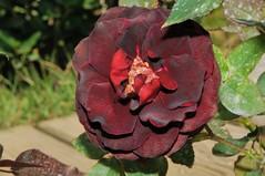 () Tags: rose iso200 rosa  rosarugosa   f32 blacklady 1050mm friendlyflickr nikoncorporation 160secs rosahybrida nikond300s  20120306122748