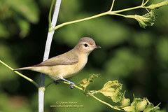 Warbling Vireo (Vireo gilvus) (Sharon's Bird Photos) Tags: nature backyard wildlife birding northdakota warblingvireo explored explored449march72012 vireogilvu