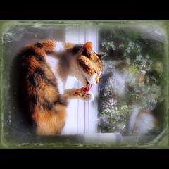 tongue cat paw thankyou calico licking washing gettingbetter missstevienicks happytonguetuesday picmonkey