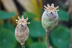 Opium pods
