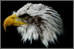 Bald Eagle 2 (Buzzard2001) Tags: 2 me photography you baldeagle thegalaxy natureselegantshots bestcapturesaoi mygearandme mygearandmepremium mygearandmebronze mygearandmesilver mygearandmegold mygearandmeplatinum mygearandmediamond dblringexcellence tplringexcellence flickrstruereflection1 flickrstruereflection2 flickrstruereflection3 flickrstruereflection4 flickrstruereflection5 flickrstruereflection6 flickrstruereflection7 eltringexcellence flickrstruereflectionlevel7 trueexcellence1 allofnatureswildlifelevel1 allofnatureswildlifelevel2 allofnatureswildlifelevel3 allofnatureswildlifelevel4 allofnatureswildlifelevel5 allofnatureswildlifelevel6 allofnatureswildlifelevel7 rememberthatmomentlevel4 rememberthatmomentlevel1 flickrsfinestimages3 rememberthatmomentlevel2 rememberthatmomentlevel3 me2youphotographylevel2 me2youphotographylevel3 me2youphotographylevel1 freedomtosoarlevel1birdphotosonly rememberthatmomentlevel5 me2youphotographylevel4
