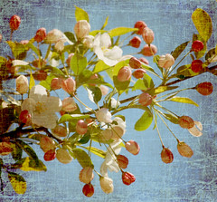 Sky Blue (~Jeannine~) Tags: flowers flower tree texture apple blossoms textures textured crabapple motat appleblossoms tatot fleursetpaysages blinkagain