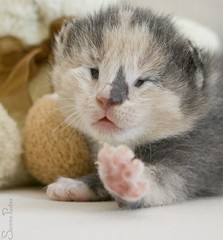 20110706_14928b (Fantasyfan.) Tags: 2 pet baby cute animal topv111 paw eyes furry topv333 kitten closed blind reaching small fluffy weeks fantasyfanin synti highqualityanimals siirretty
