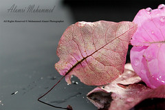 ..  .... (MOHAMMED ALAMRI PHOTOGRAPHY) Tags: pink fall love water leaf drops      pinkleaf  leaffall