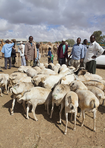 Livestock Market In Hargeisa  Somaliland