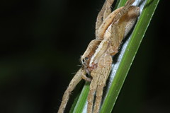 Water spider, Waiherere Domain waterfall (Mary Caughley) Tags: nurserywebspider waterspider daihiereredomain