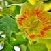Tulipier de Virginie - fleur