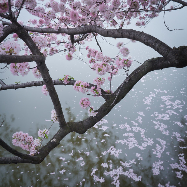 Petals in the Tidal Basin, by Reed A. George