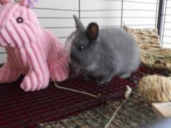 Abby 3 (sakura_chan15) Tags: rabbit bunny netherlanddwarfrabbit