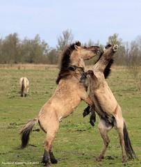 konikpaarden_8 (raymondklaassen) Tags: wild nederland natuur flevoland paarden oostvaardersplassen natuurgebied wo02042012battle