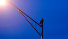 Horned Owl on Lamp Post (syntithesis) Tags: urban birds blackhills twilight streetlight dusk streetlamp lamppost owl urbanwildlife birdofprey citywildlife