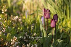 """""""Era come quei tulipani che compro per casa mia. Ho imparato a prenderli chiusi, cos mi durano di pi. Sono belli ugualmente, ma mi piacciono anche perch so come saranno quando si apriranno. Compro quella bellezza che ancora non si vede, ma che.. (Pen_sieri) Tags: flowers sunset primavera nature 50mm spring tramonto dof tulips bokeh fiori pasquetta tulipani sooc"""