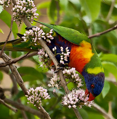 rainbow lorikeet (Fat Burns) Tags: bird parrot rainbowlorikeet australianbirds australianparrot