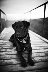 """Dog on the dock of the bay"" (Brynja Eldon) Tags: dog 35mm canon eos bay duck still lab gun labrador rocky retriever l 5d usm ef stay hundur sjr bryggja slsetur f14l rakki retrever labbi kyrr liggja hvutti"