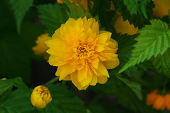 Kerria japonica f. plena  ヤエヤマブキ (ashitaka-f studio k2) Tags: flower japan rosaceae