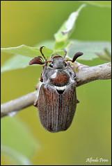 Melolontha melolontha (alfvet) Tags: macro nikon natura insetti sigma150 parcodelticino veterinarifotografi d5100