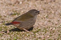 Red-browed Finch (Neochmia temporalis)-5798 (rawshorty) Tags: birds australia canberra act jerrabomberrawetlands rawshorty