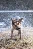 Dogshake. (ellie johansen) Tags: dog wet oslo norway swimming canon fun nemo shepherd walk sunday german shake bathing fetch shaking nordmarka 60d lorttjern
