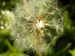5-1-14 012 (LeeLee's pictures) Tags: 5114 mississippiriver woods nature dandelions yellow flower wildflower weeds makeawish white flyaway