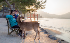 IMG-NT-8716 (thepianistalex) Tags: sunset japan deer miyajima  torii    itsukushimajinja