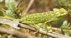 IMG_8783 (Sula Riedlinger) Tags: portugal nature reptile wildlife algarve chameleon riaformosa chamaeleochamaeleon portugalnature mediterraneanchameleon commonchameleon portugalwildlife