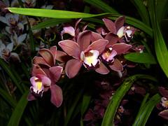 Cymbidium Mimi 'Mary Bea' orchid hybrid 4-16 (nolehace) Tags: sanfrancisco plant orchid flower bea mary mimi bloom hybrid cymbidium 416 nolehace fz35