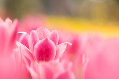 flapping alone (hitohira_) Tags: flowers flower nature bokeh tulip