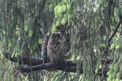 Great Horned Owl (maractwin) Tags: cambridge birds us unitedstates massachusetts watertown greathornedowl mtauburncemetery