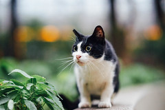 (Tridentz | ) Tags: cat cats animal meow neko     streetcat straycat sony hongkong a7 alpha 85mm gmaster gm f14 fe