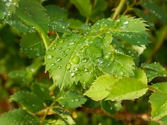 Droplets on a rose's leaf (Flicker Classic Person) Tags: macro rose droplets leaf safe 2016