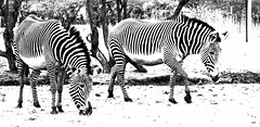 Black and white (WISEBUYS21) Tags: africa park winter light horses white snow black cold happy zoo high key frost mood stripes wildlife lion dream like safari chester zebra dreamy lighter pyjamas grazing zebras dreamers lighten wisebuys21